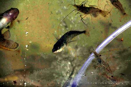中の川魚.jpg