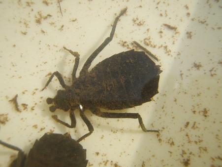 水生昆虫3.jpg